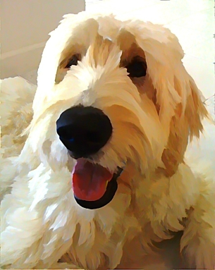 Golden Doodle, Hope, Therapy Dog for Gabriel's Angels